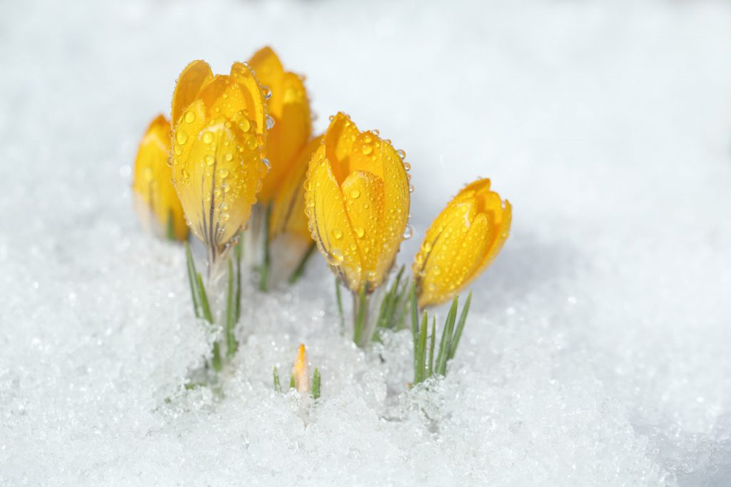 feb snow crocus