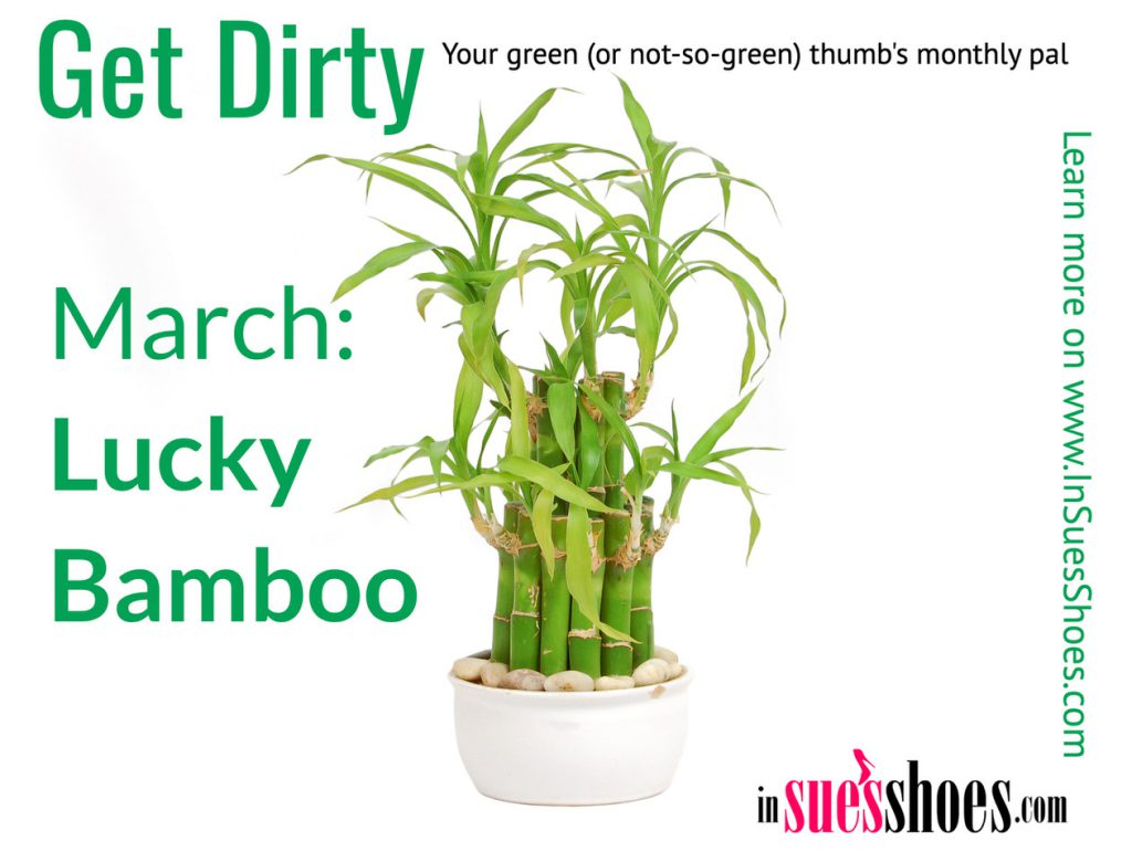 Lucky Bamboo Houseplants