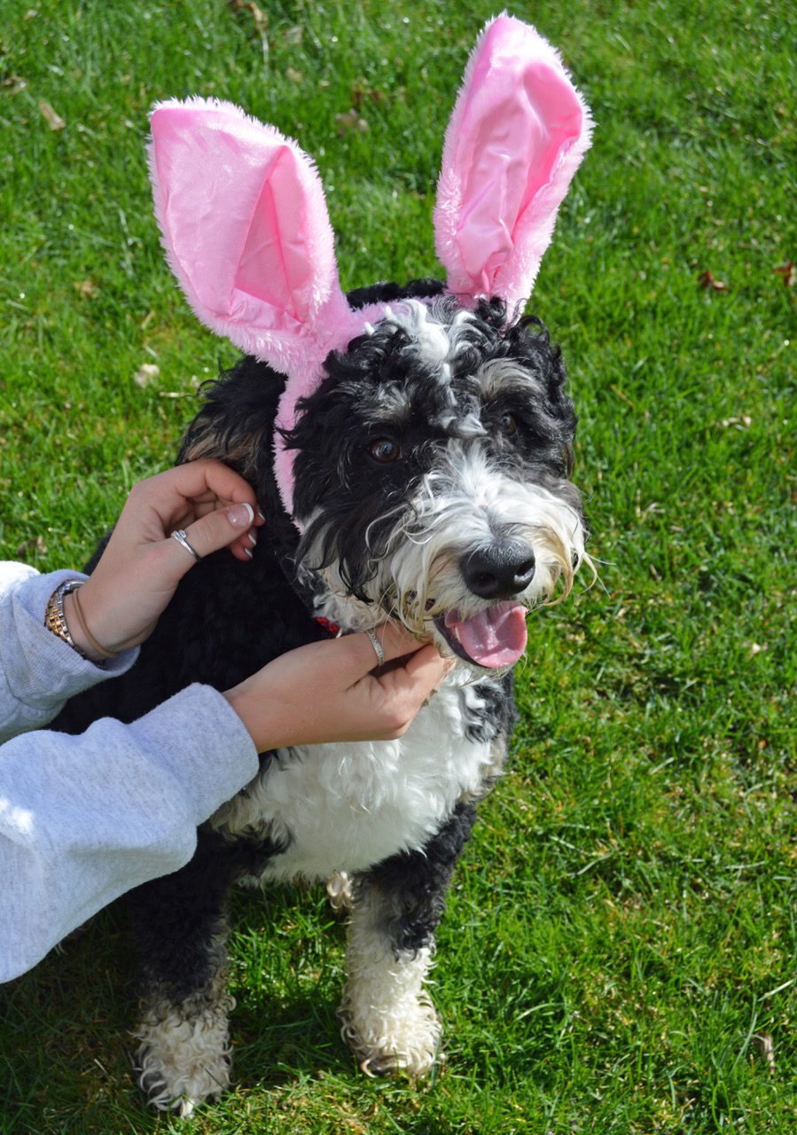 bernedoodle with Easter rabbit ears