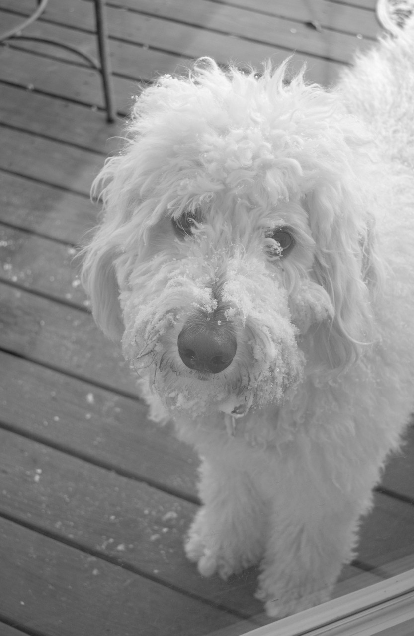 dog on deck in winter blackwhite